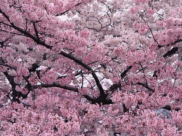 Сакура в Ужгороді зацвіте через місяць