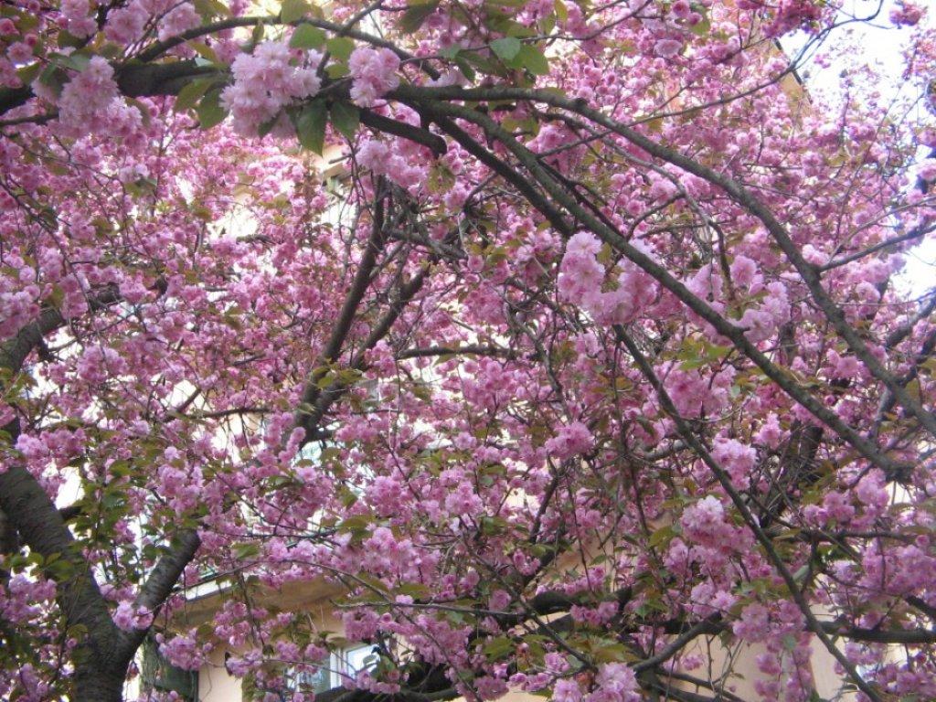 Ужгород вкрився цвітом сакур