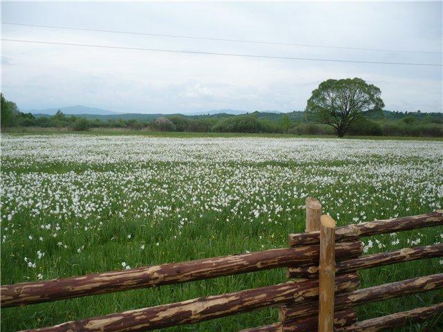 7 травня почнеться  масове цвітіння у Долині нарцисів