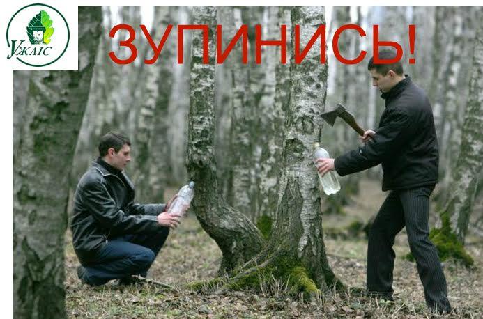 Лісівники Ужгородщини нагадують про заборони й правила збору березового соку