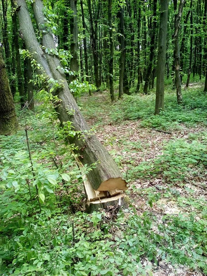 Мукачівщина також потерпає від вирубок лісу (фото)