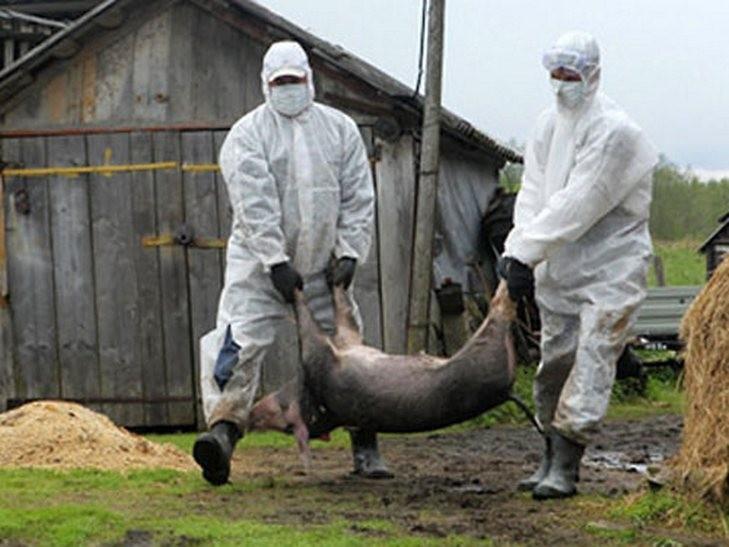 На Мукачівщині утилізували туші понад півсотні свиней