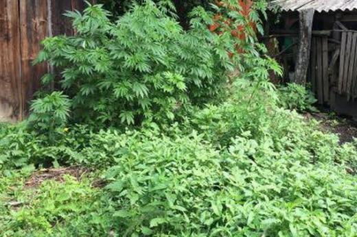 У двох закарпаток на городах знайшли посіви конопель (ФОТО)