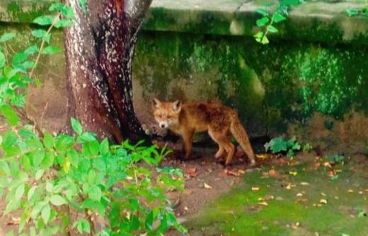 Поблизу дитячої лікарні в Ужгороді бігає хижа тварина (ВІДЕО)