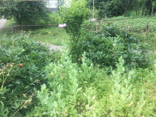 Жителька Виноградівщини вирощувала у себе на городі снодійний мак