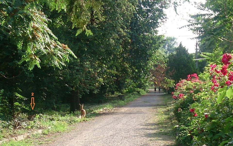 В Ужгородському парку з'явилися олені (фото)