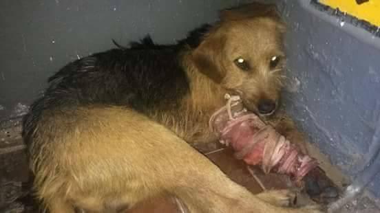 На Ужгородщині невідомі поранили з вогнепальної зброї собаку