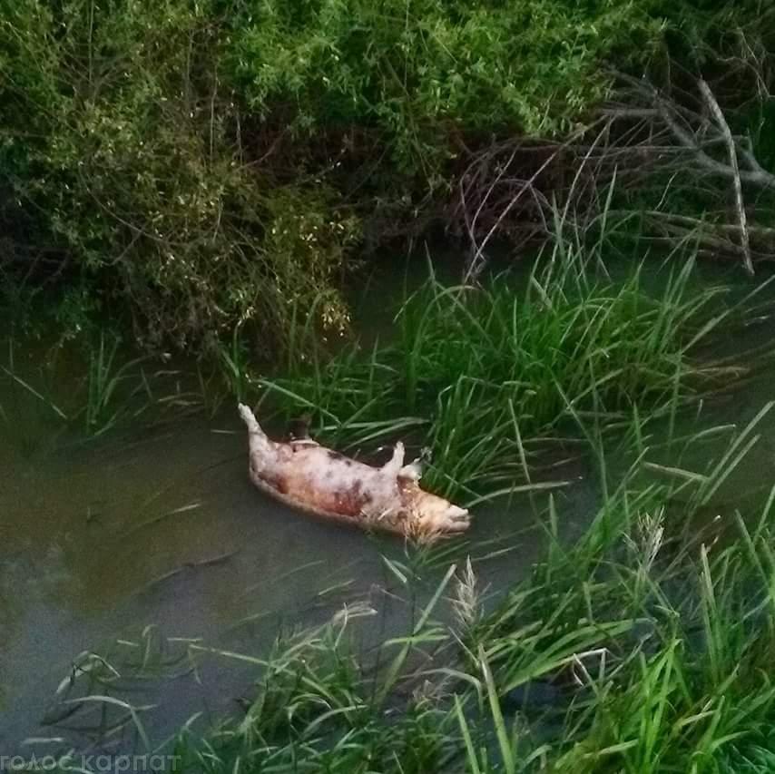 У канаві на Виноградівщині знайшли трупи свиней (ФОТО)