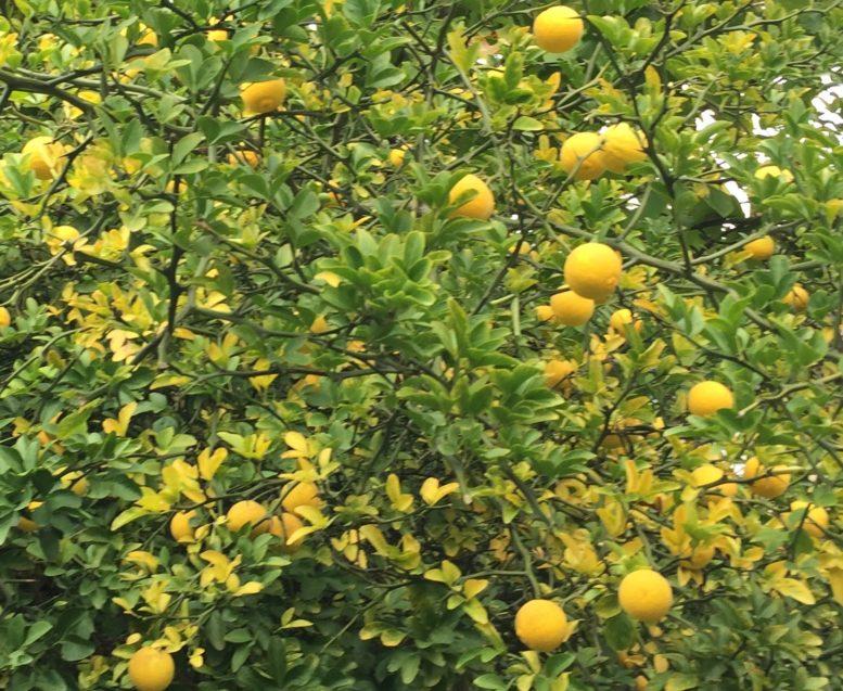 В Ужгородському ботсаду щедро вродили дикі лимони (фото)