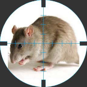 До уваги ужгородців: в місті труїтимуть пацюків