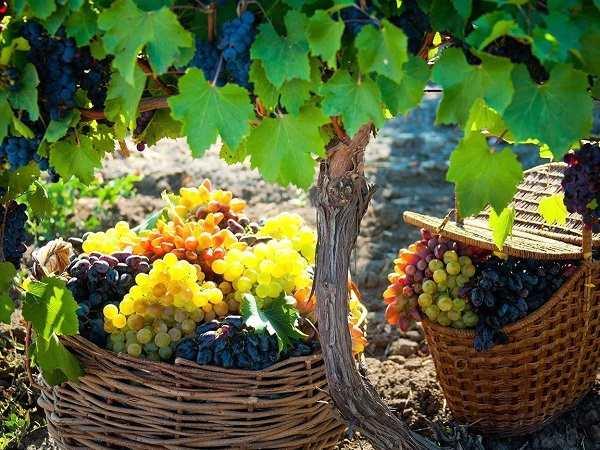 До збору винограду на Ужгородщині долучаються навіть туристи (ВІДЕО)