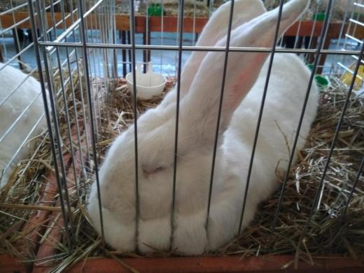 Вже у дев'яте в Ужгороді відбулася виставка кролів (ВІДЕО)