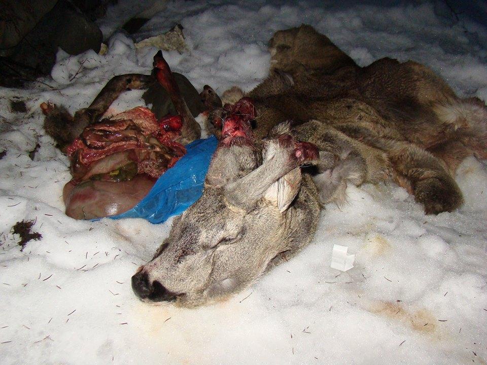 На Рахівщині черговий акт жорстокого браконьєрства (фото)