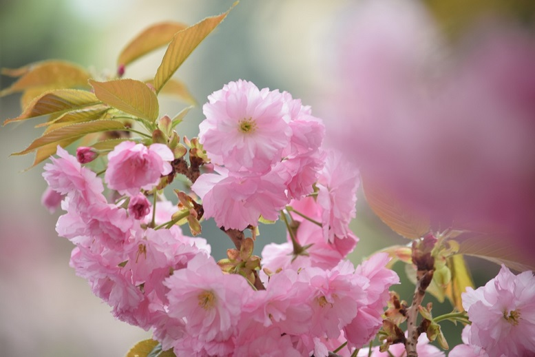 """На період цвітіння сакури і до травневих свят """"Укрзалізниця"""" призначила додаткові поїзди на Закарпаття"""