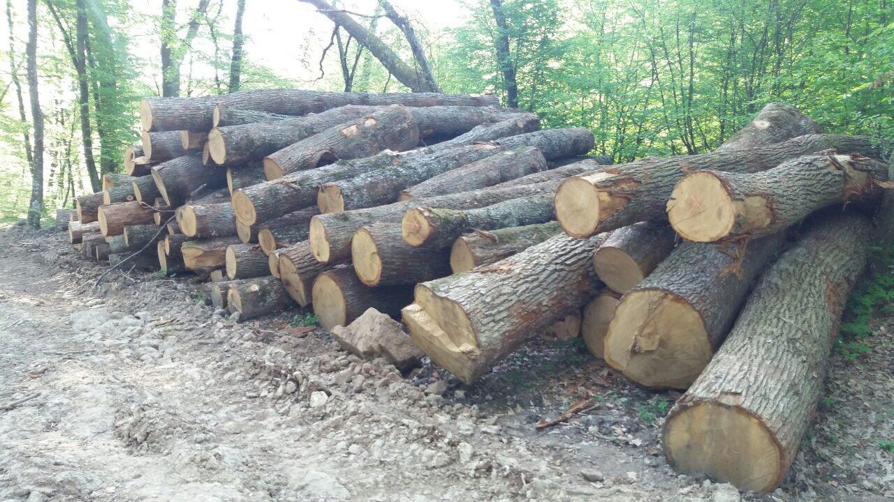 Під Ужгородом чергова варварська рубка столітніх дубів (фото)