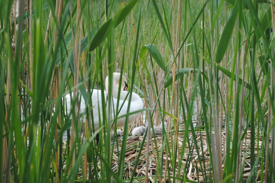 """У лебедів, що живуть на """"Кірпічці"""" в Ужгороді, з'явилися пташенята (ФОТО)"""