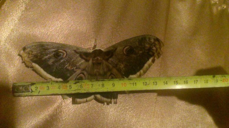 У Мукачеві виявили найбільшого метелика Європи (фото)