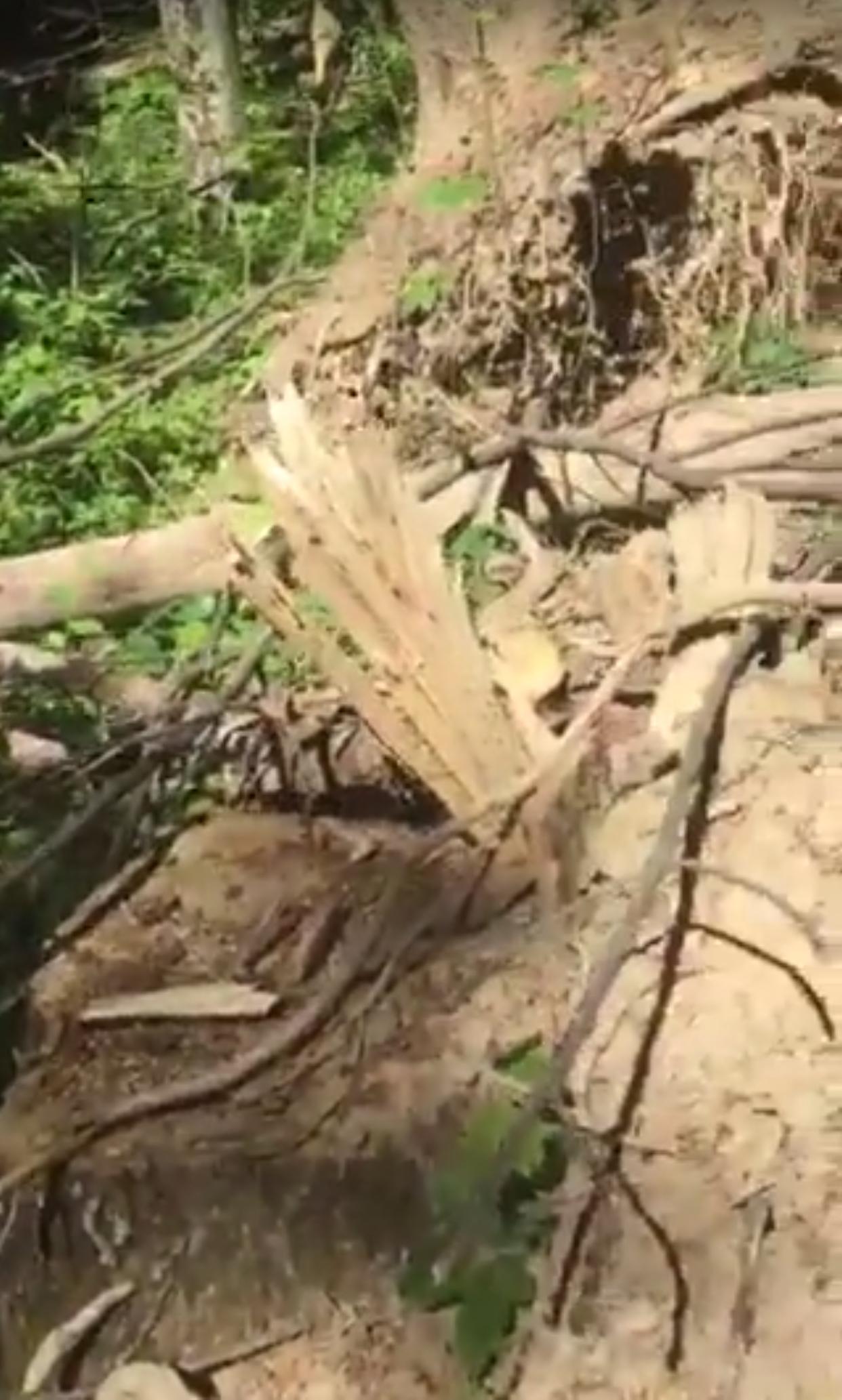 Сина начальника екоінспекції Закарпатської області звинуватили у варварських рубках (відео)