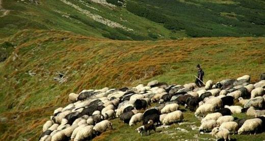 В неділю на Міжгірщині проводжатимуть отари на полонину