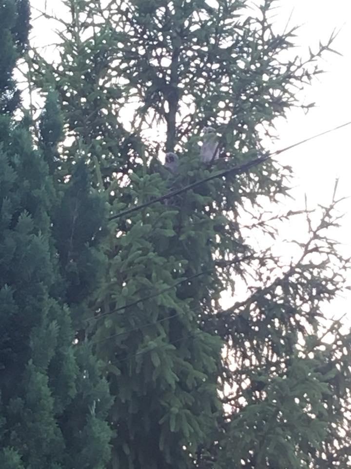 В Ужгороді поселилася родина сов (відео)