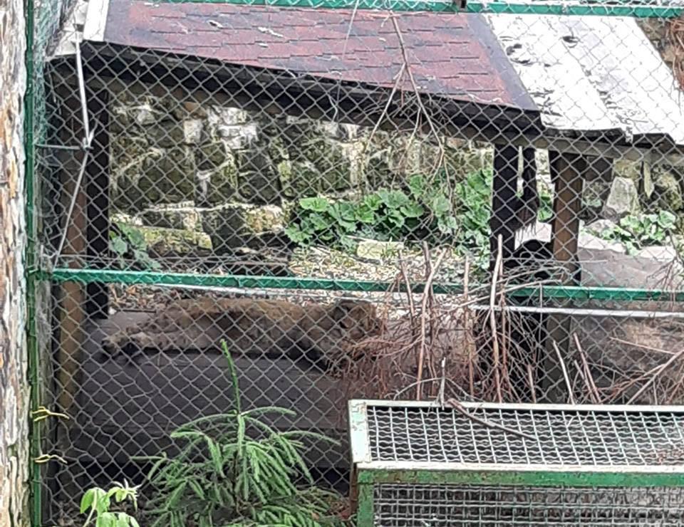 У реабілітаційному центрі ведмедів на Закарпатті незвичне поповнення – левеня Арні