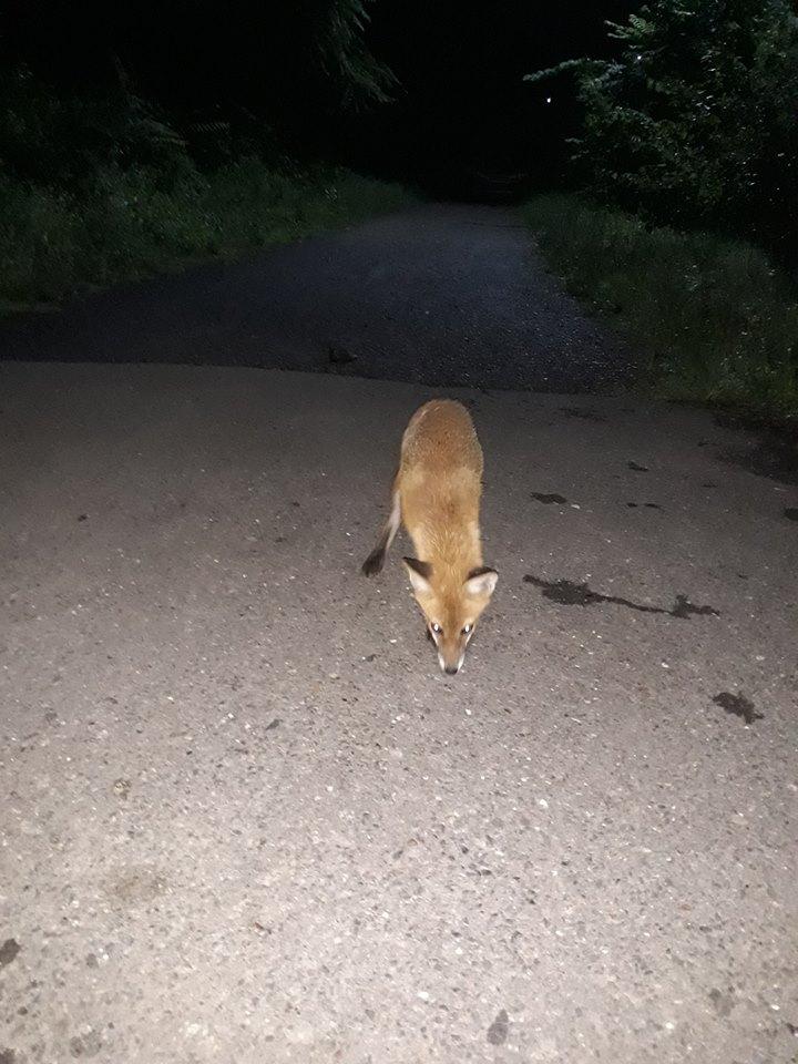 Ужгородські лисиці зовсім не бояться людей (відео)