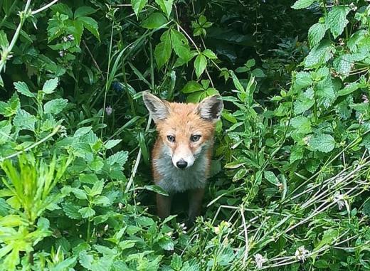 В мережі оприлюднили фото лисиць з Боздоського парку в Ужгороді