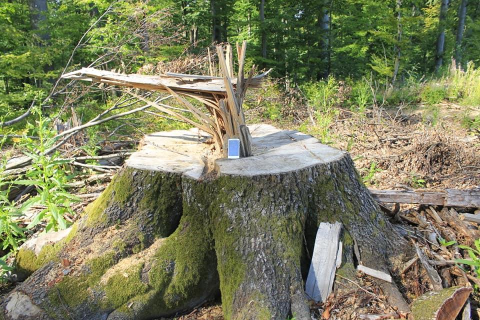 На Свалявщині рубають старовіковий ліс (фото)