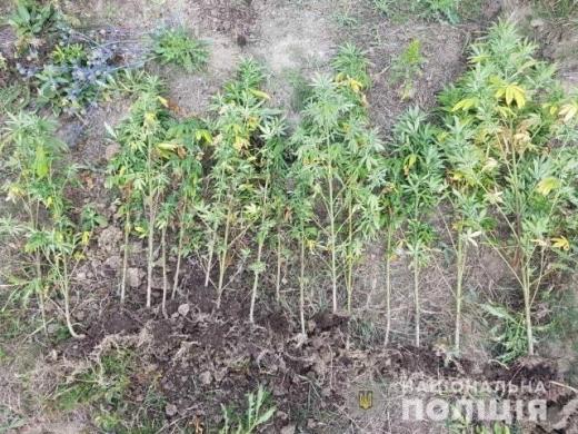 На Берегівщині поліція виявила незаконний посів конопель
