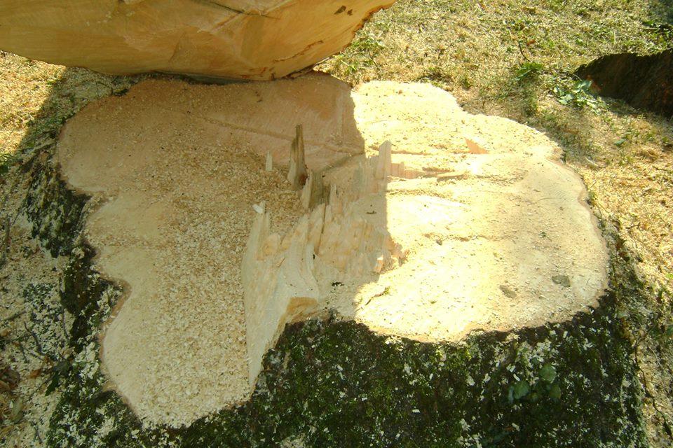 В Мукачеві нещадно рубають сторічні дерева (фото,відео)