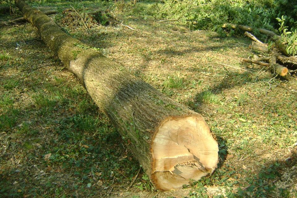 Як знищували столітні дубові гаї на Тячівщині
