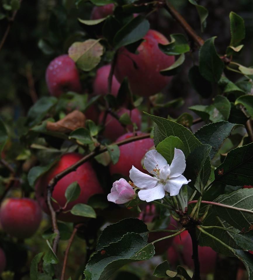 На Ужгородщині зацвіла яблунька, яка плодоносить (фото)