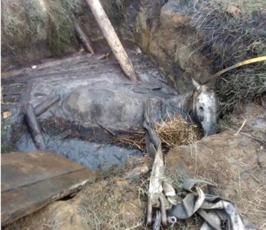 На Ужгородщині рятувальники витягли коня з вигрібної ями