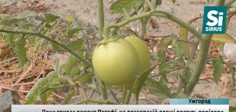 На розритій площі Петефі в Ужгороді дозрівають, висаджені навесні помідори (ВІДЕО)