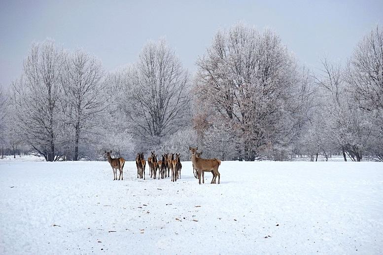 Берегівщина вражає туристів оленями та ланями (фото)