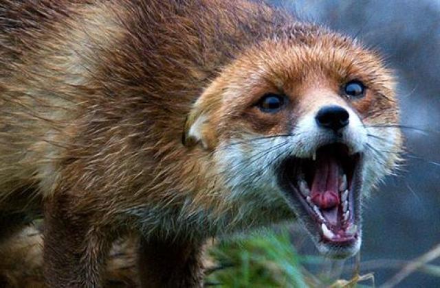 На Виноградівщині виявили хвору на сказ лисицю