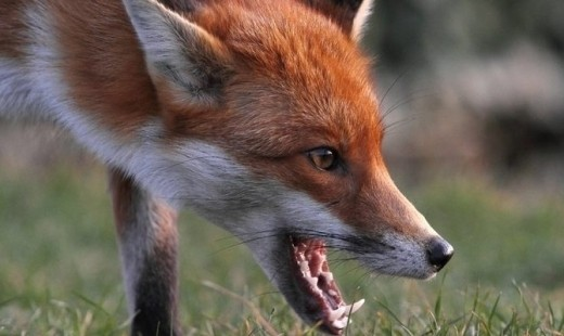 У Мукачівському районі відстрелили скажену лисицю