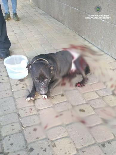 У центрі Ужгорода патрульні знайшли собаку з численними ножовими пораненнями