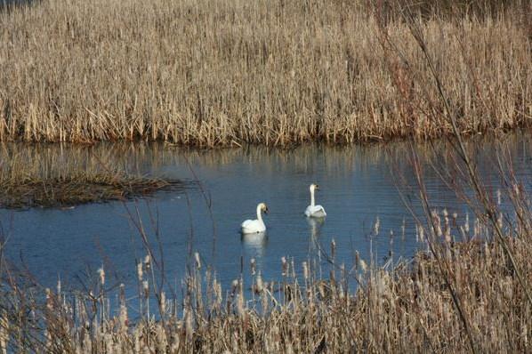 На Тячівщині оселилася пара лебедів-шипунів (ФОТО)