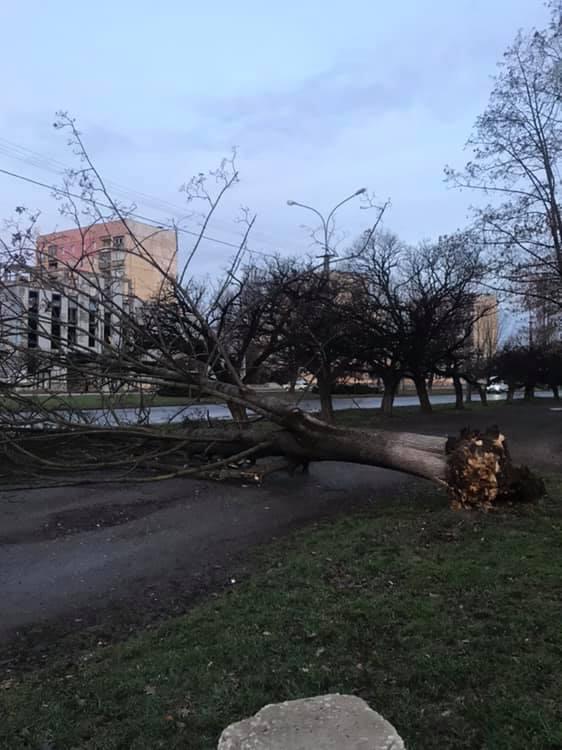В Ужгороді старе дерево впало на тротуар (фото)