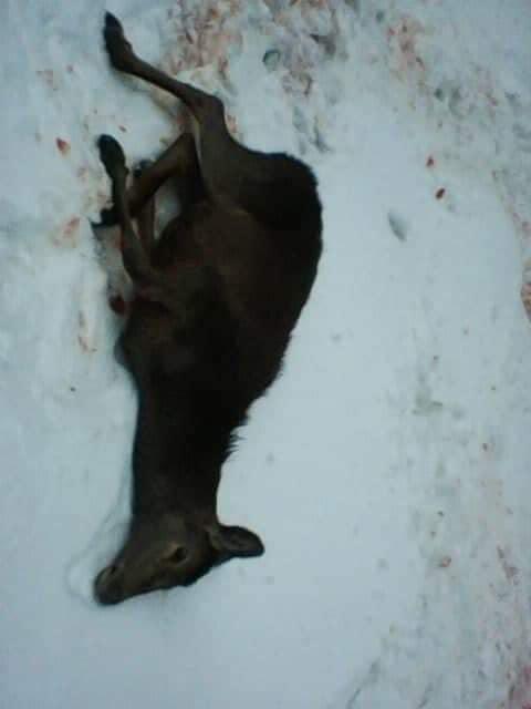 На Рахівщині браконьєри застрелили молодого оленя (фото)