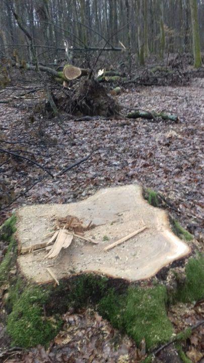 У військовому лісництві біля Мукачева знову незаконно вирубали дуб (ФОТО)