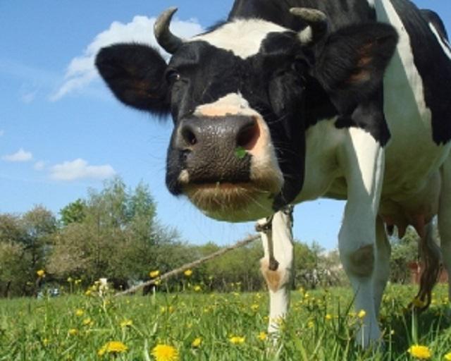На Мукачівщині виявили сказ у рогатої худоби
