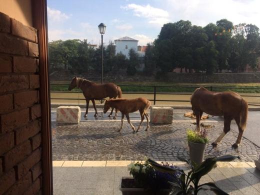 Набережною в Ужгороді гуляли коні (ФОТОФАКТ)
