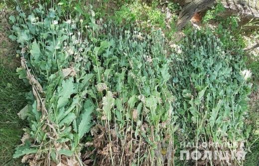 За добу поліція виявила майже 700 рослин снодійного маку на городах закарпатців
