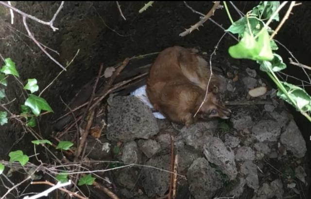 З каналізаційного колектора в Мукачеві врятували собаку