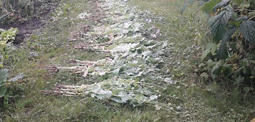 На городах трьох закарпатців виявили незаконні посіви снодійного маку