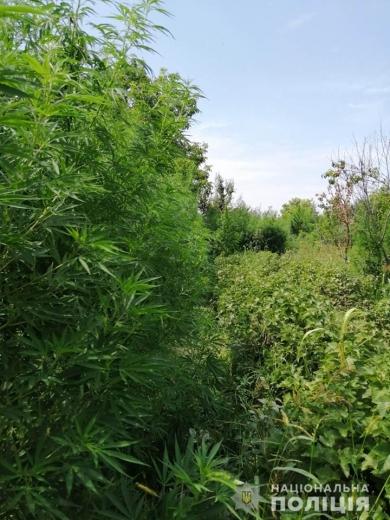 Поліція виявила плантацію марихуани на Ужгородщині