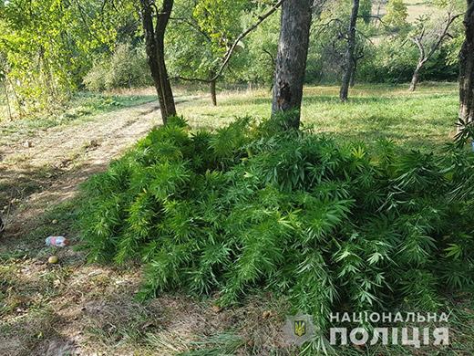 Поліція виявила 175 кущів конопель на присадибній ділянці в Іршавському районі