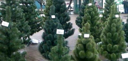 Де в обласному центрі Закарпаття торгуватимуть новорічними ялинками